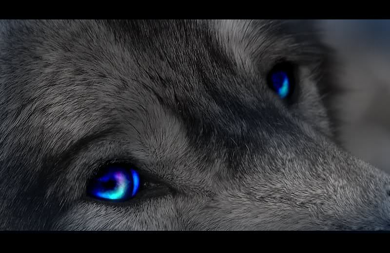 black wolves with blue eyes - photo #14