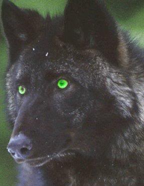 black wolf green eyes-#3